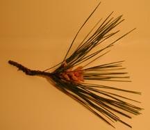 pinetip1.jpg